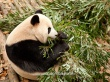 Giant Panda Breeding Research Centre | Chengdu, China